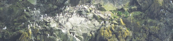 Hundreds of Breeding Guillemots on safety of precarious ledge