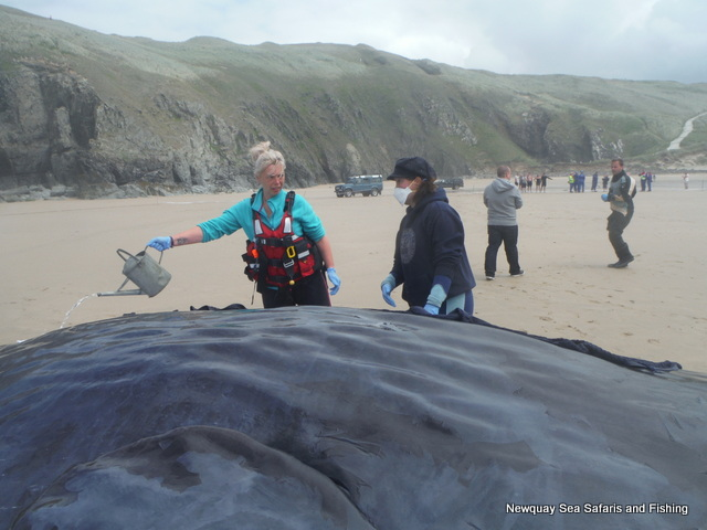BDMLR Marine Mammal Medics keeping Sperm Whale on Perranporth Beach Cool