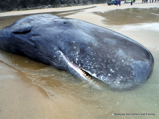 Large blunt forehead of sperm whale
